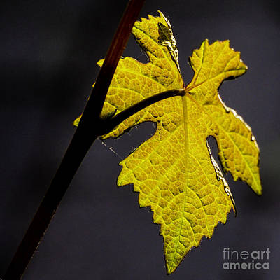 Photograph - Vine Leaf 2 by Michael Canning