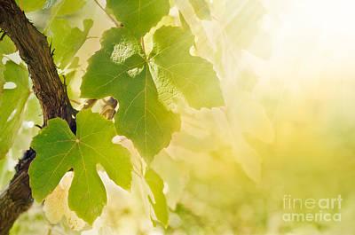 Vine Leaf Art Print by Mythja  Photography