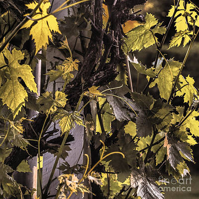 Photograph - Vine Leaves by Michael Canning