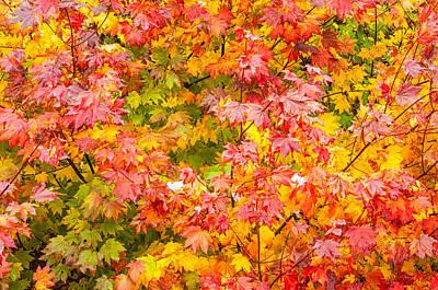 Vine Maple In Autumn Blaze Art Print
