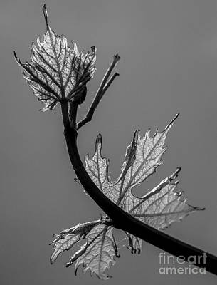 Photograph - Vine Monochrome by Michael Canning
