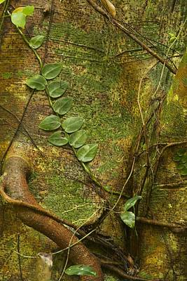 Photograph - Vine On Tree Bark by Stuart Litoff