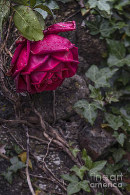 Vine Rose Art Print by Svetlana Sewell