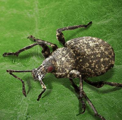 Vines Photograph - Vine Weevil by Clouds Hill Imaging Ltd