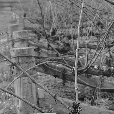 Photograph - Vineart B W . Vat 1.1 by Cheryl Miller