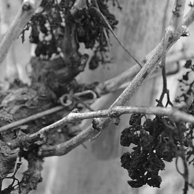 Photograph - Vineart B W . Vat 1.2 by Cheryl Miller