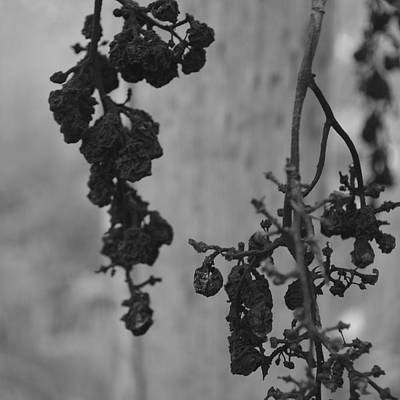 Photograph - Vineart B W . Vat 1.7 by Cheryl Miller