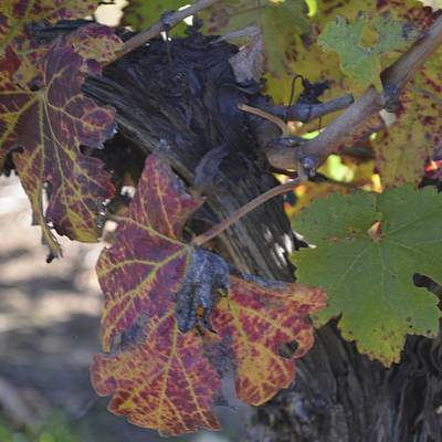 Photograph - Vineart . Vat 1.4 by Cheryl Miller