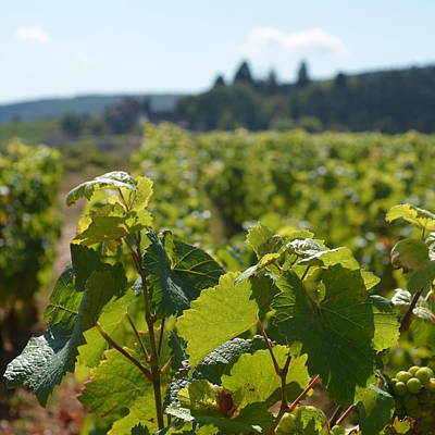 Photograph - Burgundy Vines 1.2 by Cheryl Miller