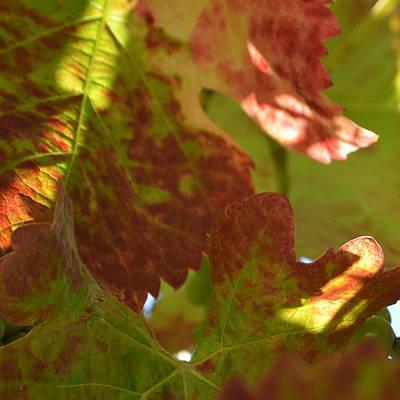 Photograph - Cote De Nuits Vines 1.1 by Cheryl Miller