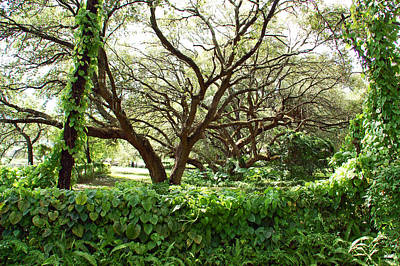 Tree Photograph - Vines And Oaks by Aimee L Maher Photography and Art Visit ALMGallerydotcom