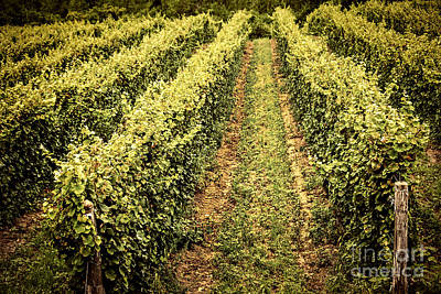 Winery Photograph - Vines Growing In Vineyard by Elena Elisseeva