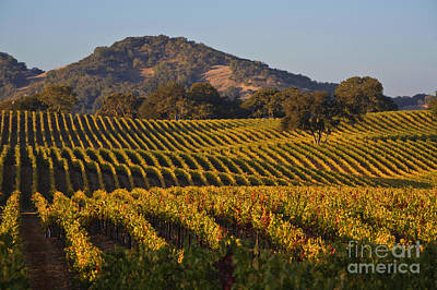 Photograph - Vines Rolling In Alexander Valley by Craig Lovell