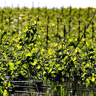 Jerry Sodorff Royalty-Free and Rights-Managed Images - Vineyard 24047 by Jerry Sodorff