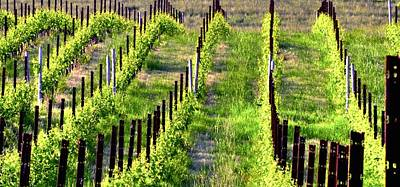 Photograph - Vineyard 24070 by Jerry Sodorff