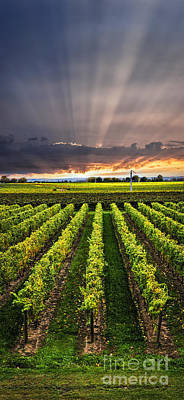 Food And Beverage Photos - Vineyard at sunset by Elena Elisseeva