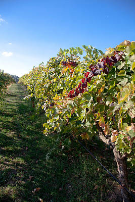 Photograph - Vineyard by Carole Hinding