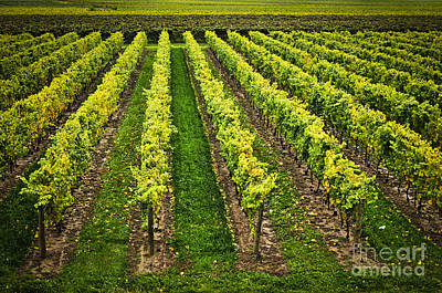 Photograph - Vineyard by Elena Elisseeva