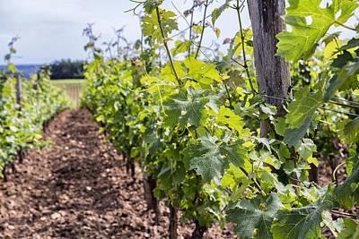 Grape Vine Photograph - Vineyard by Georgia Fowler