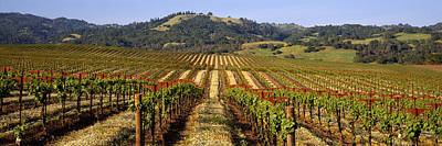 Sonoma County Photograph - Vineyard, Geyserville, California, Usa by Panoramic Images