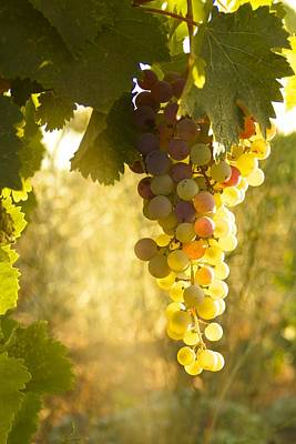 Amador Photograph - Vineyard Grapes by John and Nicolle Hearne