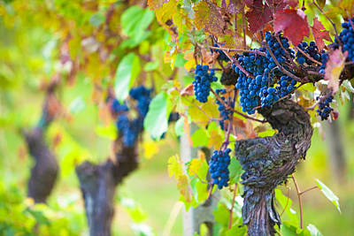 Grape Leaves Photograph - Vineyard Grapes Ready For Harvest by Susan Schmitz