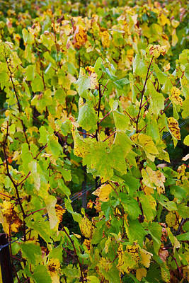Winemaking Photograph - Vineyard In Autumn, Chigny-les-roses by Panoramic Images