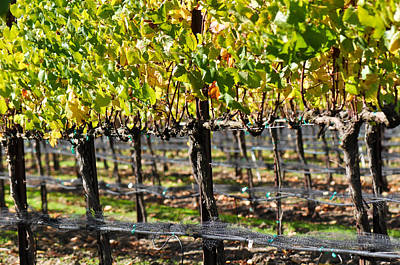 Wine Photograph - Vineyard In Autumn Fall by Brandon Bourdages