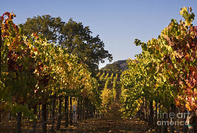 Photograph - Vineyard In Healdsburg California by Craig Lovell