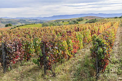 Winery Photograph - Vineyard In Its Autumn Colors by Oscar Gutierrez
