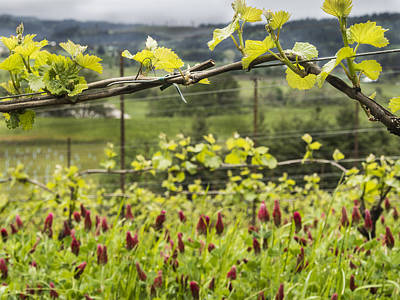Crimson Clover Photograph - Vineyard In Spring by Jean Noren