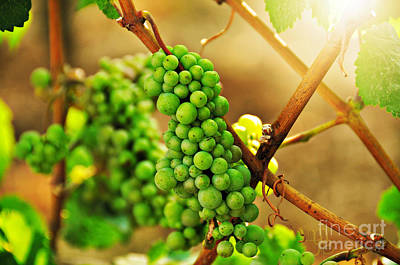Photograph - Vineyard In Summer by Mindy Bench