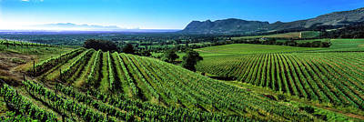 Winemaking Photograph - Vineyard, Klein Constantia, Constantia by Panoramic Images