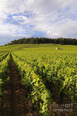 Grapevines Photograph - Vineyard Near Monthelie. Burgundy. France. Europe by Bernard Jaubert