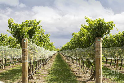 Hawkes Bay Photograph - Vineyard by Patricia Hofmeester