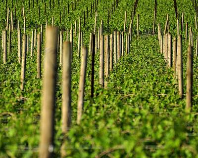 Photograph - Vineyard Poles 24119 by Jerry Sodorff