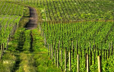 Photograph - Vineyard Road 24091 by Jerry Sodorff