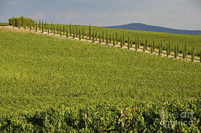 Vineyards And Cypresses Tree Alley In Chianti Art Print