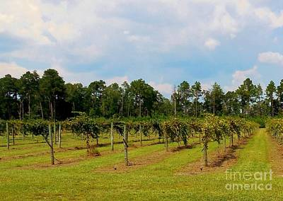 Grapes Photograph - Vineyards by Eloise Schneider