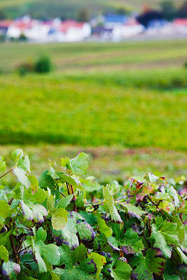 Champagne Photograph - Vineyards In Autumn, Chigny-les-roses by Panoramic Images