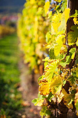 Vineyards In Autumn, Mittelbergheim Art Print by Panoramic Images