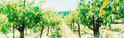 Winemaking Photograph - Vineyards In Spring, Napa Valley by Panoramic Images