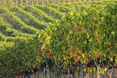 Pastoral Vineyard Photograph - Vineyards In The Rolling Hills by Terry Eggers