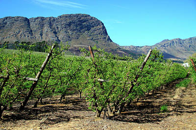 Cape Town Photograph - Vineyards Of Franschoek, Cape Wine by Miva Stock