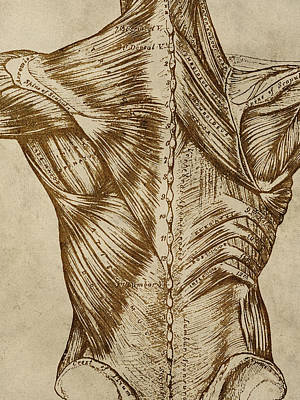 Chiropractor Digital Art - Vintage Back Anatomy by Flo Karp