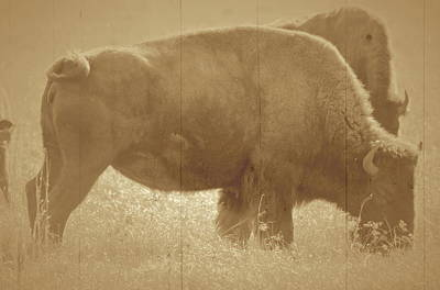 Photograph - Vintage Bison by Ronald T Williams