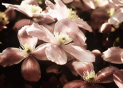 Photograph - Vintage Clematis by Georgiana Romanovna