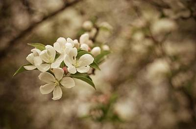 Photograph - Vintage Crabapple Blossom by Cathy Hacker