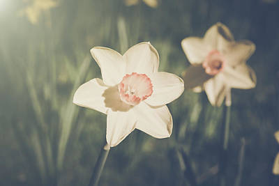 Photograph - Vintage Daffodil Close Up by Brandon Bourdages