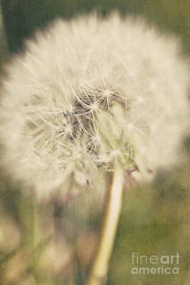 Old Time Feel Photograph - Vintage Dandelion Flower by Michael Ver Sprill